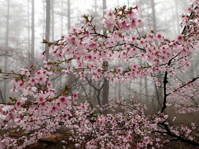 マメザクラは下向きに花が咲くのが特徴です