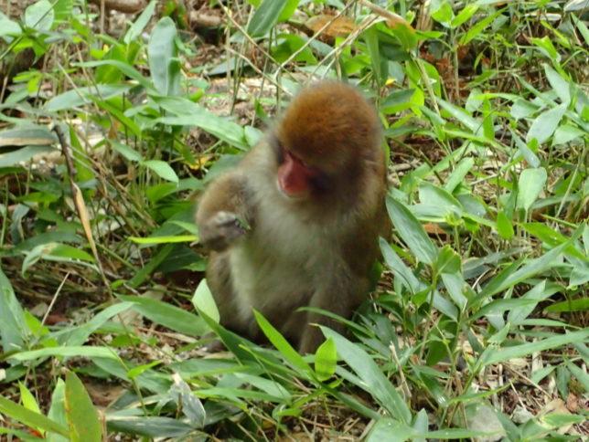 小猿はキューキューと鳴きながら笹の葉を無心で食べてました
