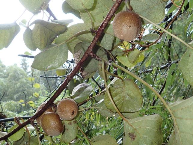 キウイフルーツの実がたくさんなっていました