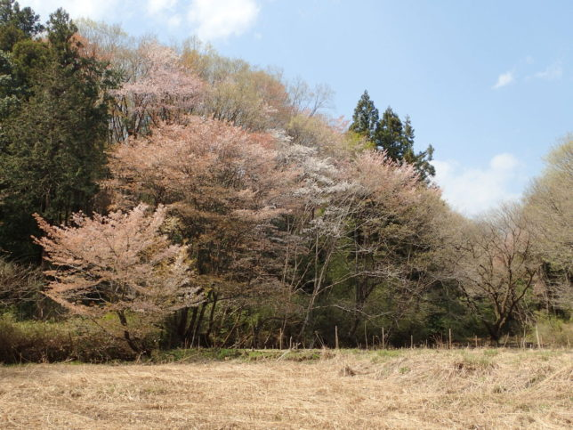 桜はちょうど散り始めでした