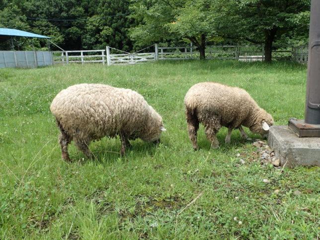 愛想のない羊さんがいました