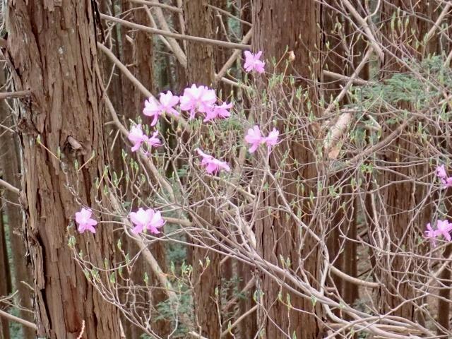 アカヤシオが咲いてました